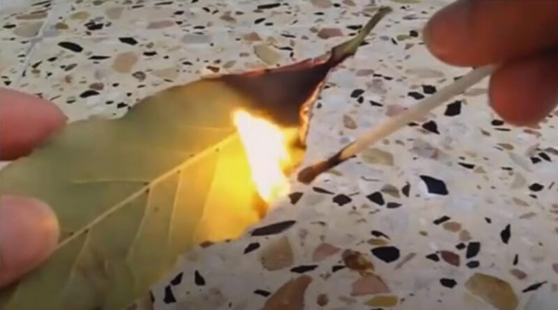 Burn Bay Leaves in Your House Wait 10 Minutes and See What Happens